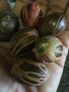 Nutmeg from Dominica