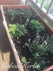 Two varieties of Thyme and Greek Oregano in the NYC Summer Terrace Garden.