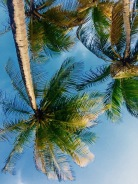 Coconut Trees at Manzanilla Beach Trinidad